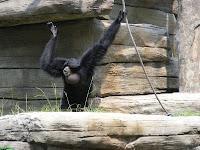 howler monkey at Riverbanks Zoo