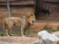 King Lion at Riverbanks Zoo