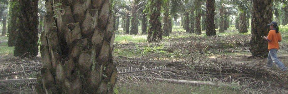 Sejarah Kelapa Sawit Di Indonesia Kelapa Sawit Elaeis Adalah Tumbuhan