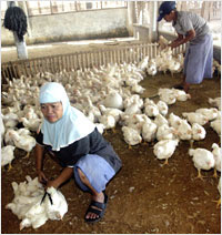 Poultry / Chicken Farming