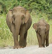 [PYGMY-ELEPHANT-3.jpg]