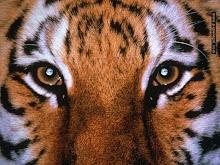 """Se vc vê o tigre, o tigre já lhe viu 100 vezes."""