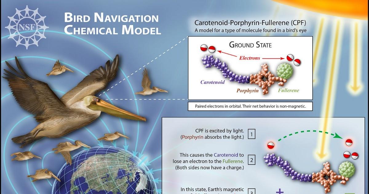 Juntos en la Aventura: La brújula fotomagnética de las aves migratorias