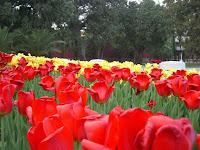 Tulipas! - Tulips!