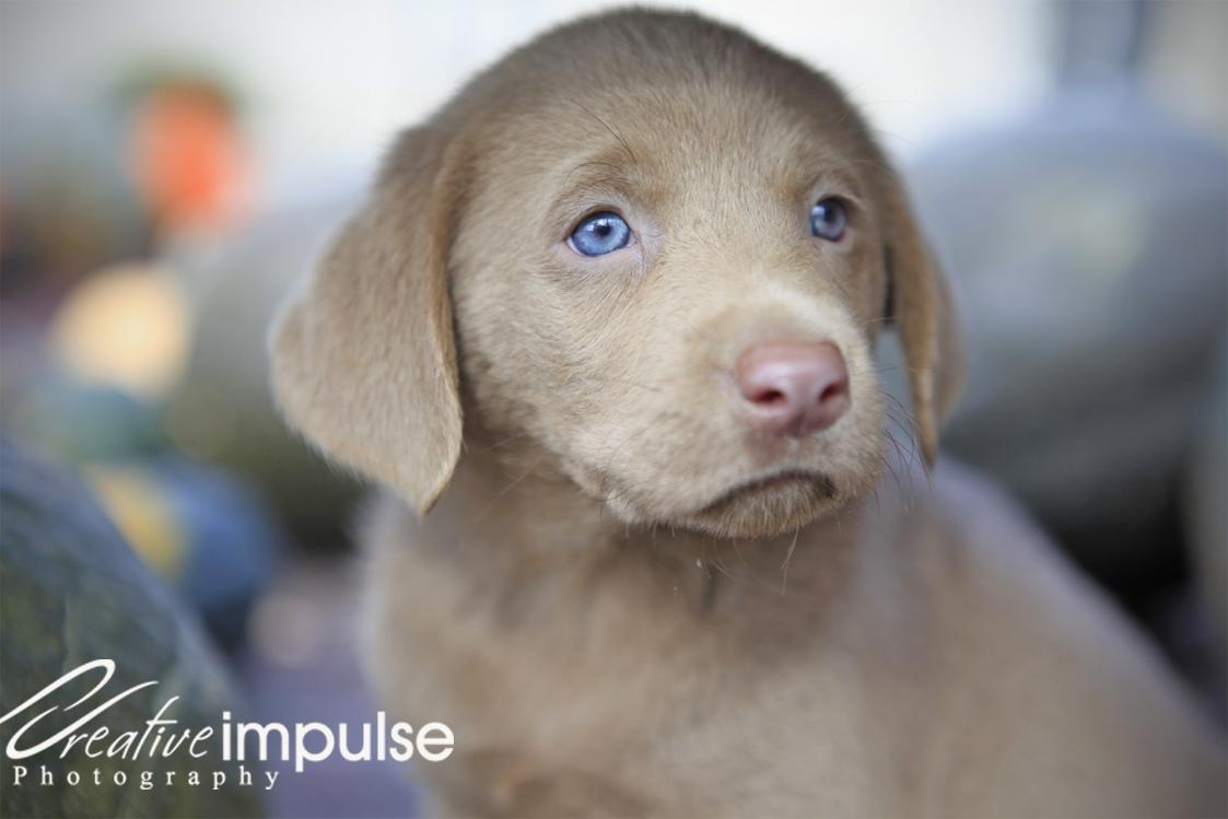 Puppy World: Silver Lab Puppy Pictures