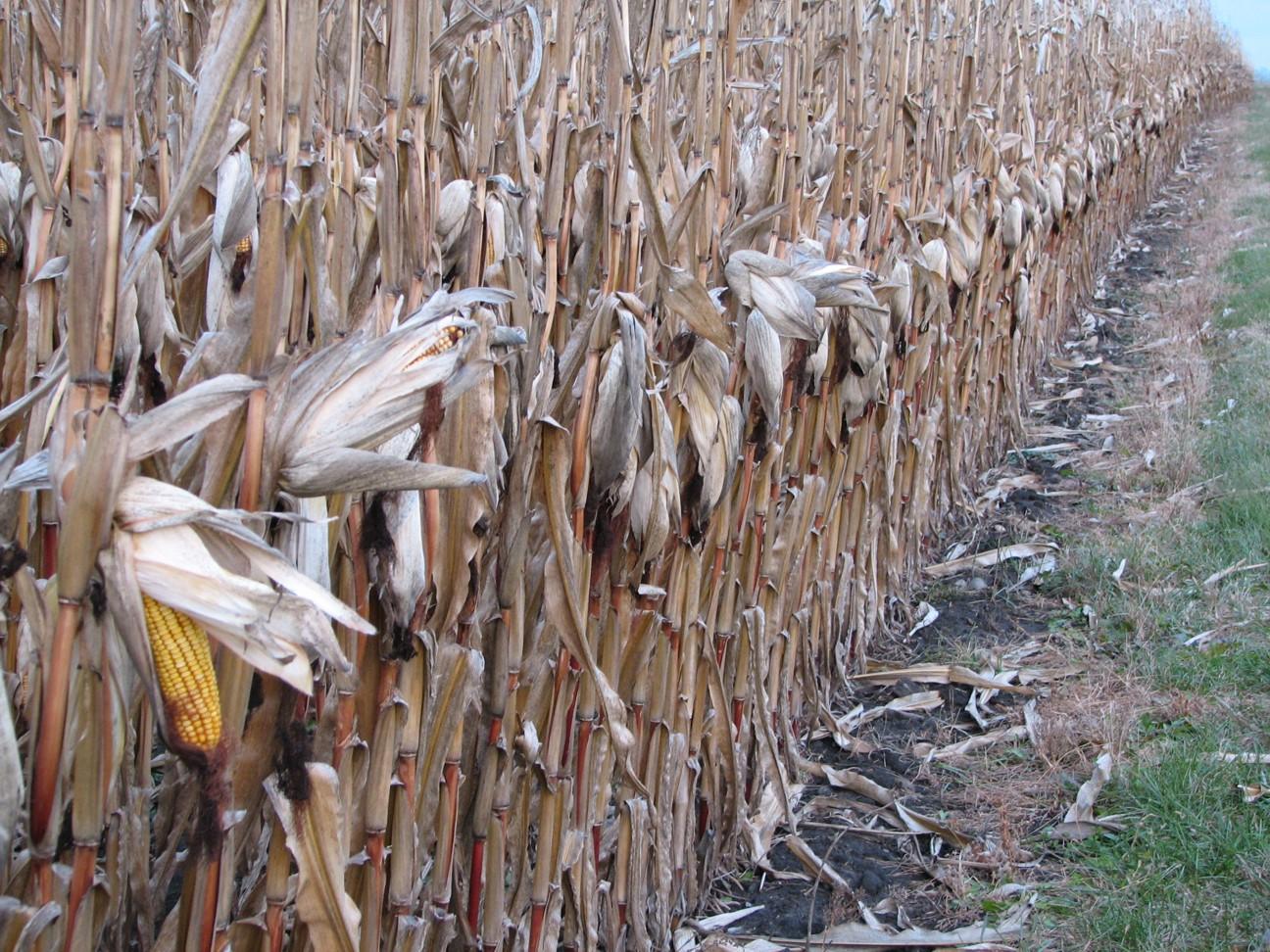 [Corn_field.jpg]