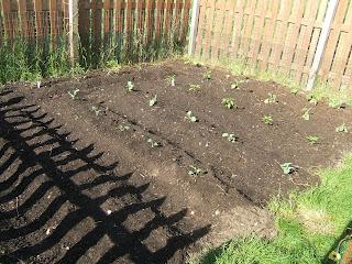 Vegetable Garden is In.