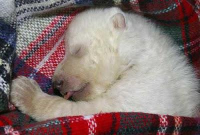 cucciolo orso polare norimberga