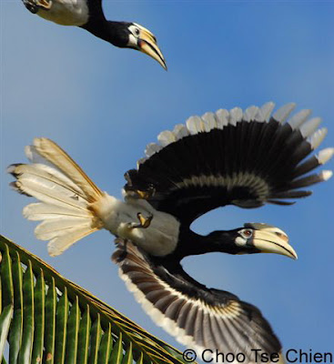 North Borneo's best kept avian passage: Part 2