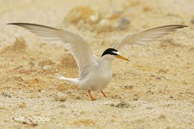 Breeding ecology of the Little Tern 4: Feeding