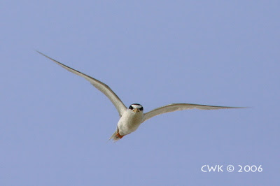 Breeding ecology of Little Tern 1: Egg laying and hatching