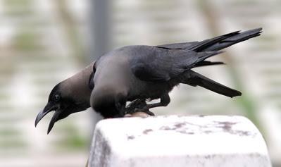 Harassment of Black-shouldered Kites