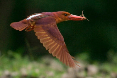 Ruddy Kingfisher: A distinguishing feature