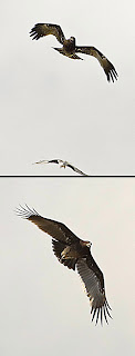 Eagle attacking Kite's nest