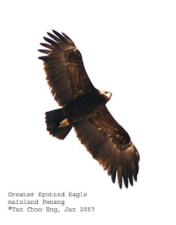 Encounter with the Greater Spotted Eagle in Penang, Malaysia