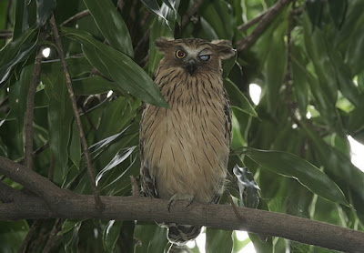 Sentosa's owls