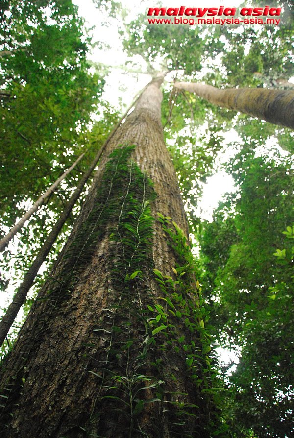 Sabah Tall Rainforest Tree