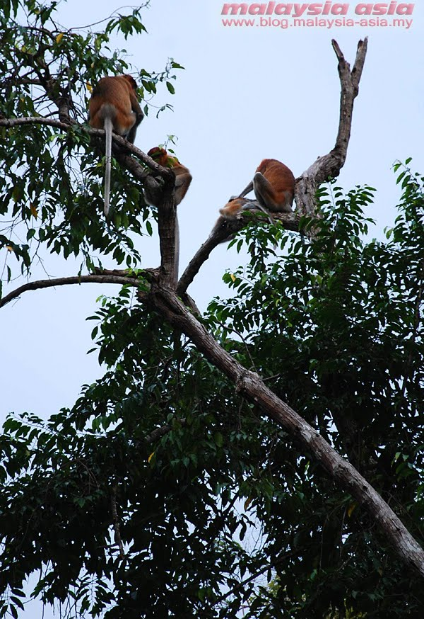 Proboscis Monkeys at Kinabatangan