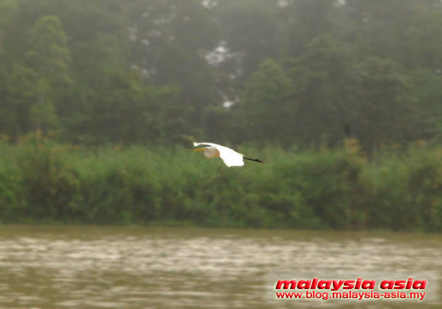 Egret at Kinabatangan River