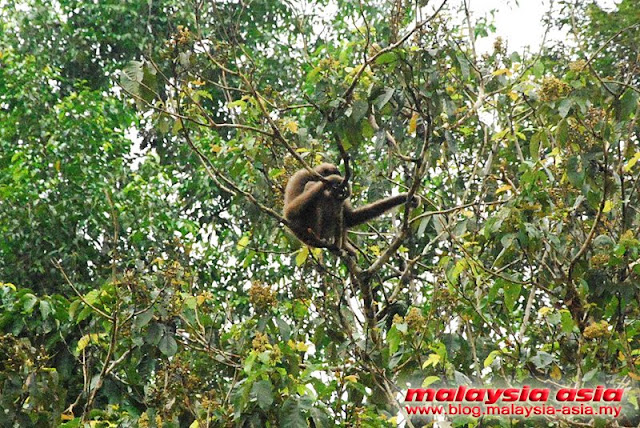 Gibbons at Kinabatangan River