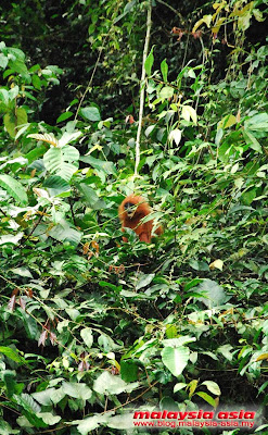 Photo of Red Leaf Monkey