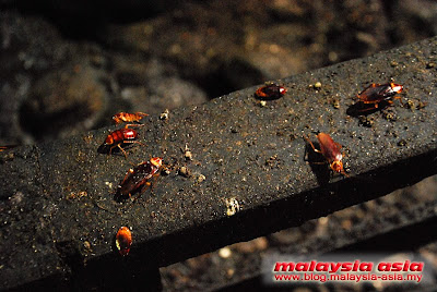 Cockroaches at Gomantong Cave
