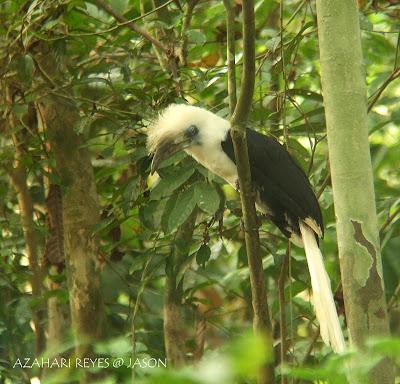 Sabah White-crowned Hornbill