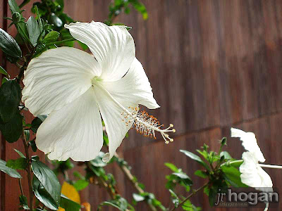 White Bunga Raya Malaysia