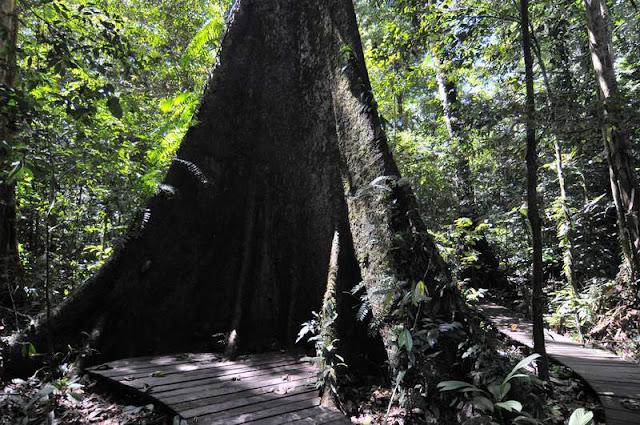 Sarawak Binuang Tree