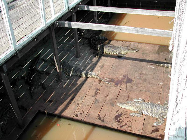 Crocodile at Tonle Sap