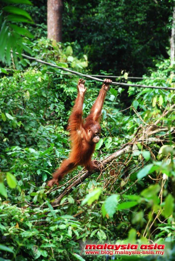 Sepilok Orangutan Conservation Sandakan
