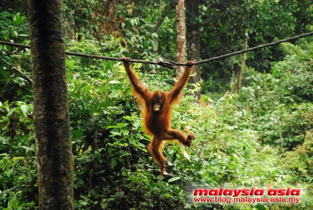 Sandakan Orangutan