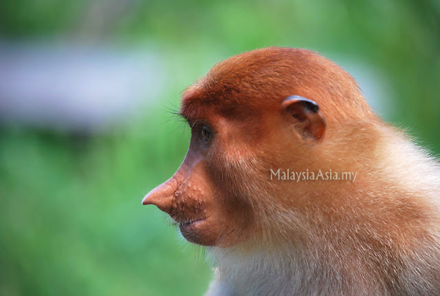 Proboscis Monkey Photograph