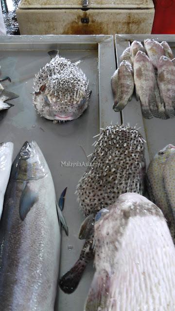 Sandakan Puffer Fish