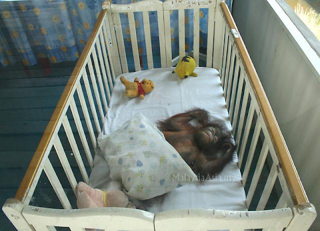 Sleeping Baby Orang Utan