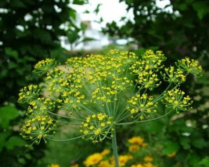 Photo of a Flowering Dill Plant