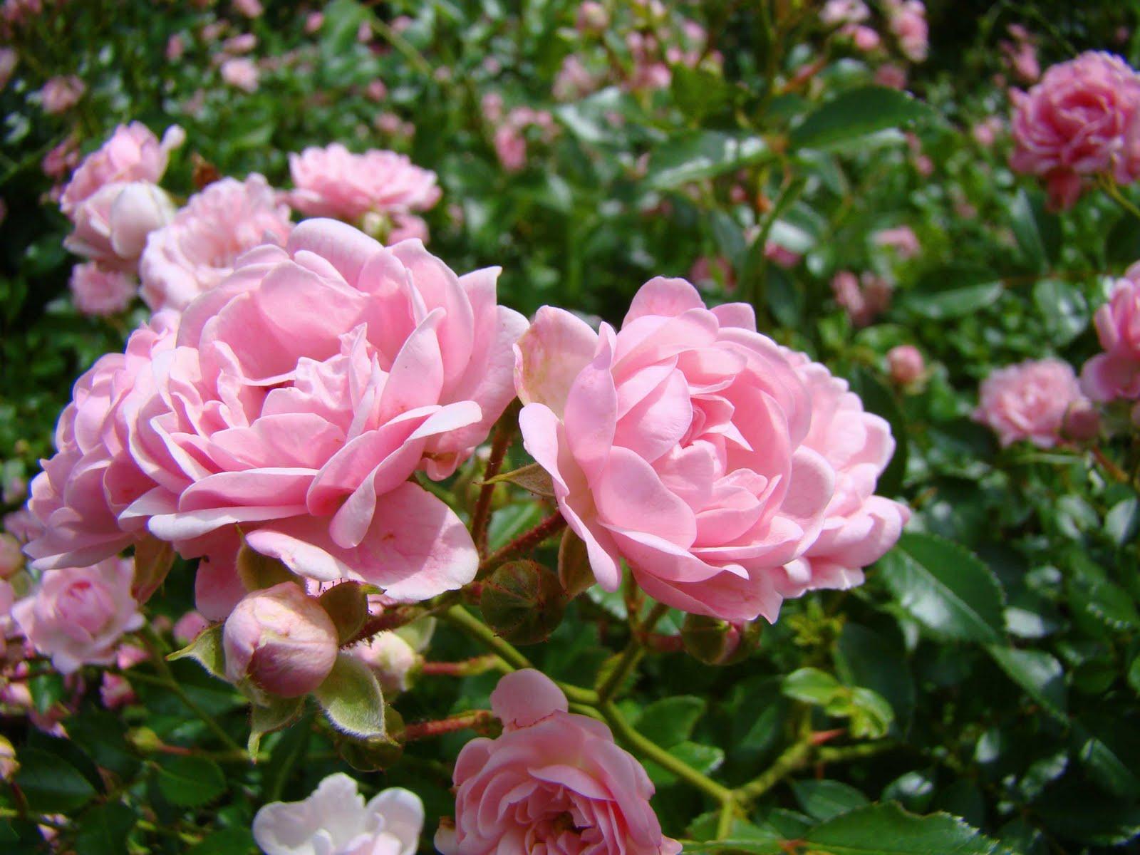 Bean Street Market Blog Miniature Roses