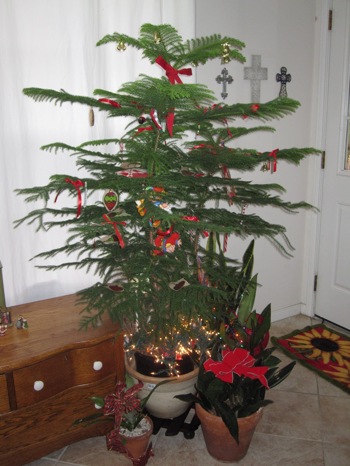 Tropical Texana: NORFOLK ISLAND PINE CHRISTMAS TREE ~ THIS ...