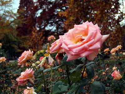 Svetlana Allikas roses in St James park in november