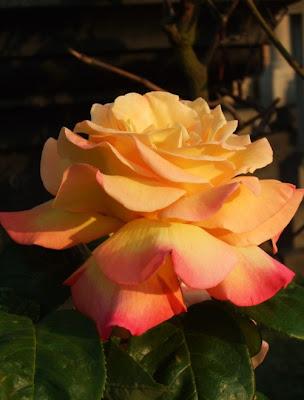 Светлана Алликас Вечная память Роза
