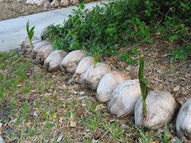 Growing Coconuts