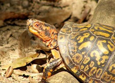 Peeky Turtle