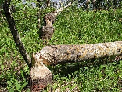 На многих островах Вышневолоцкого моря живут бобры