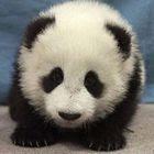 Como nascem os pandas