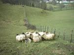 Mundo de ovejas