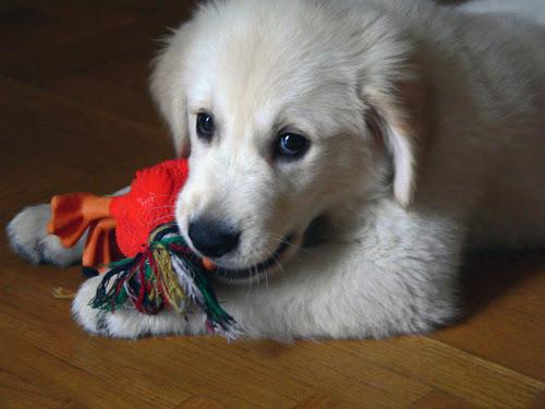 golden retriever 2 cachorro