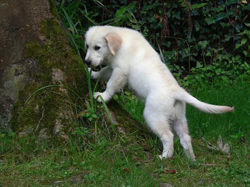 golden retriever cachorro