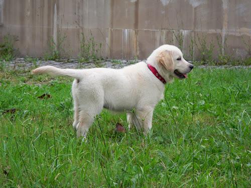 golden retriever cachorro puppy