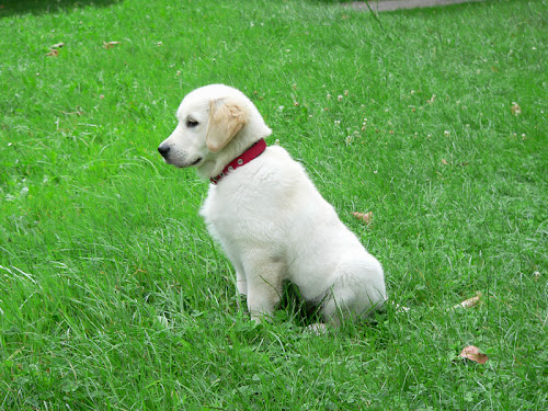 golden retriever 2 mounths puppy cachorro