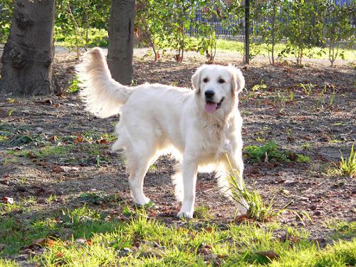 Golden Retriever 8 months 15 days